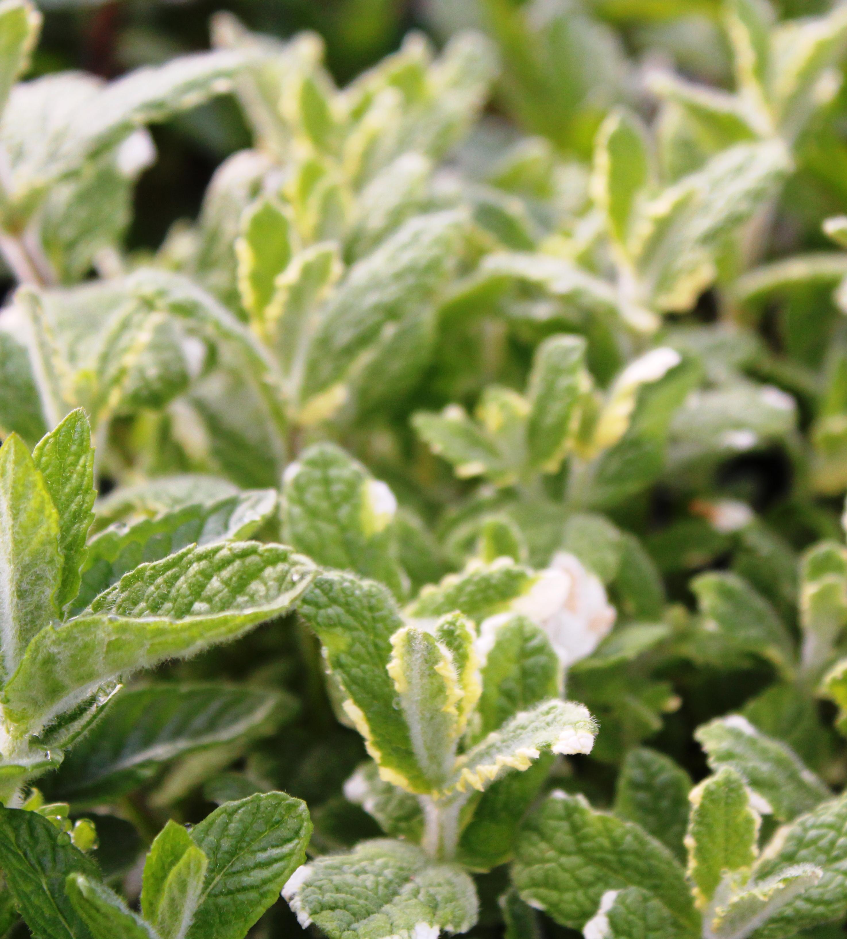 Plantes aromatiques, condimentaires et officinales ...