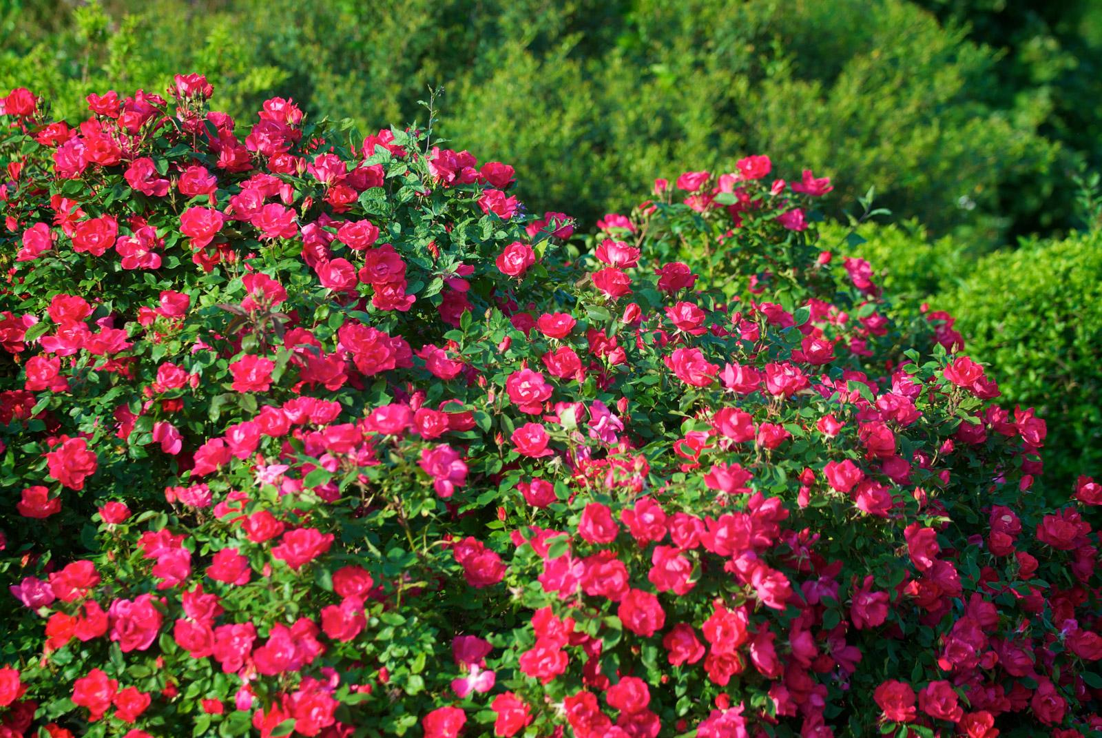 Le jardin aux milles fleurs fleurs des c vennes for Jardin aux fleurs