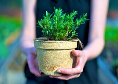 Plantes aromatiques, condimentaires et officinales