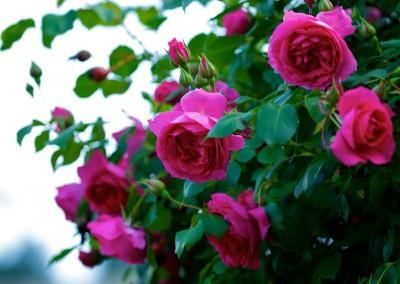 Nos rosiers en Cévennes