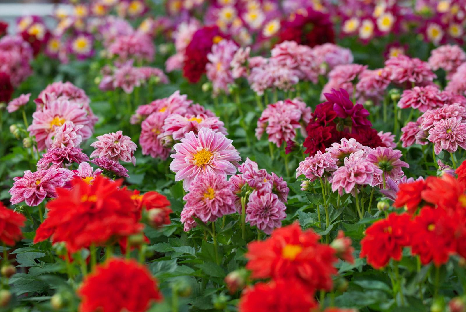 De jolies fleurs dans nos jardins
