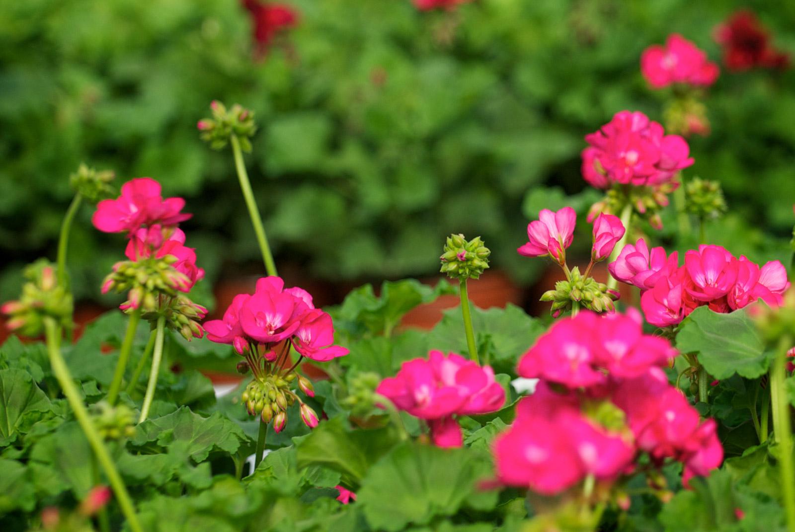 De belles fleurs rose