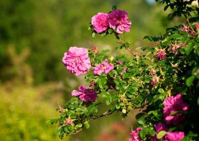 Notre jardin cévenol aux mille fleurs