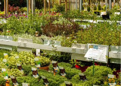 Plantes aromatiques cultivées chez votre producteur Fleurs des Cévennes