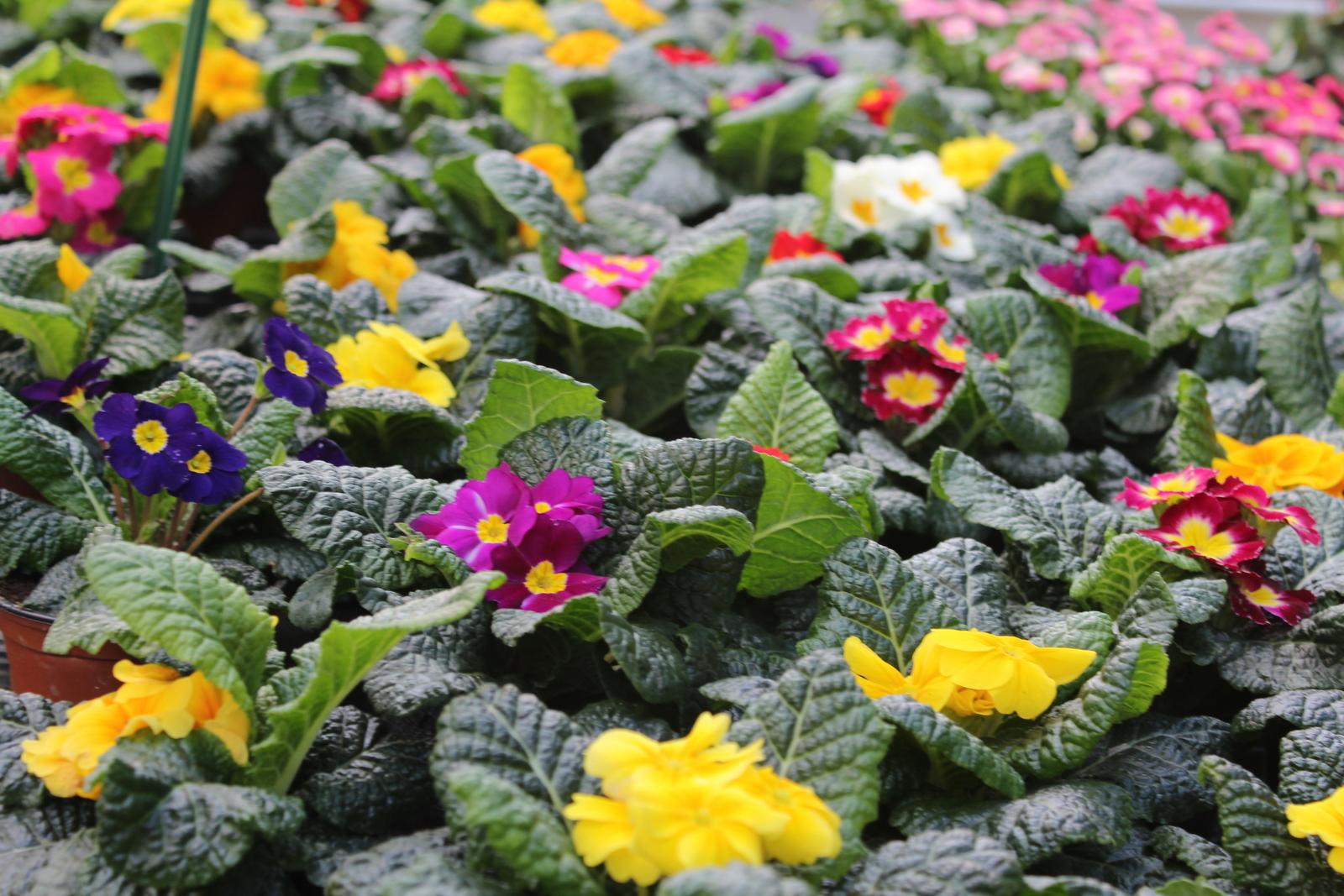 jardiner en mars fleurs des c vennes. Black Bedroom Furniture Sets. Home Design Ideas