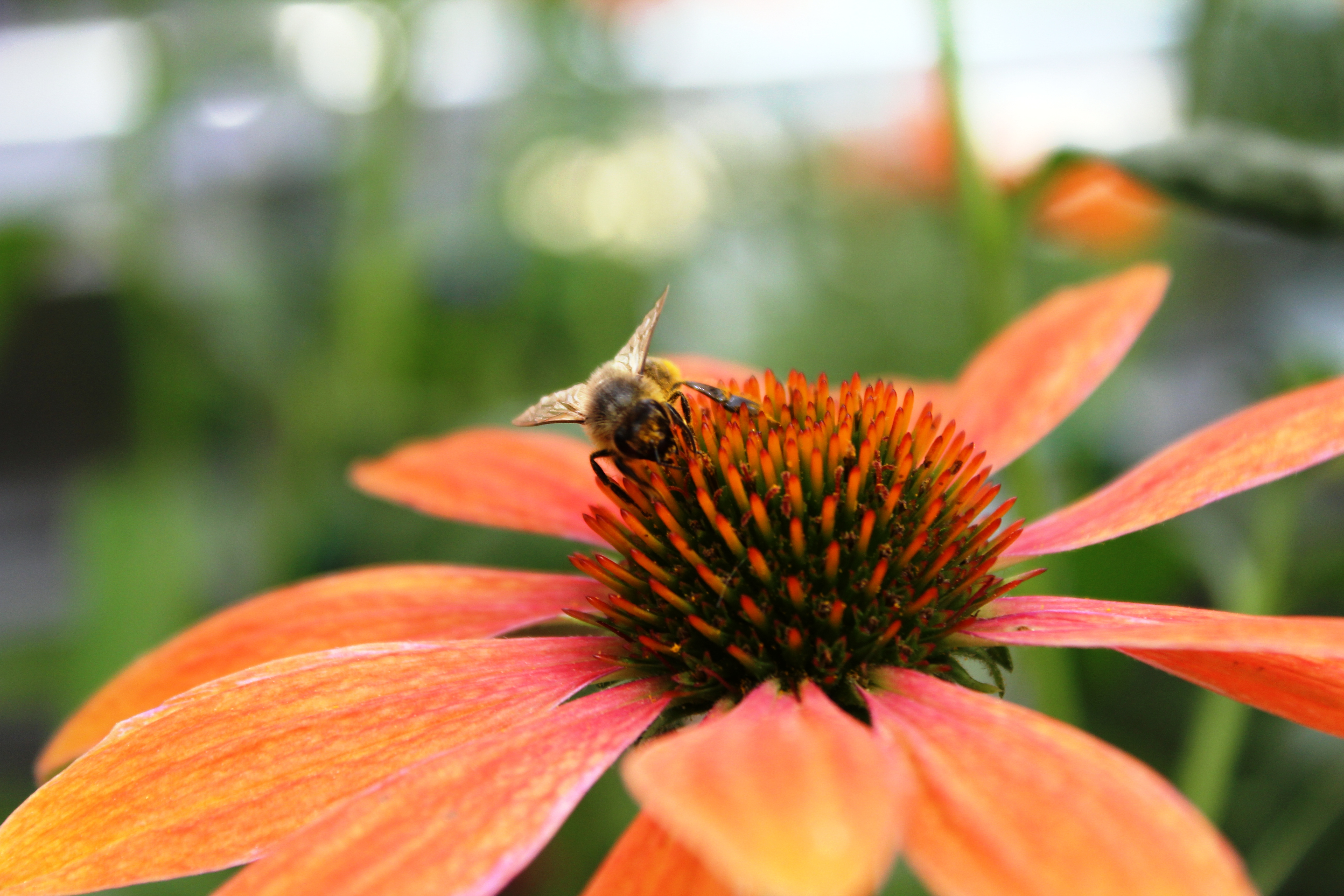 Echinacea (3)