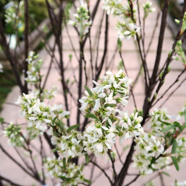 Amelanchier canadensis (2)