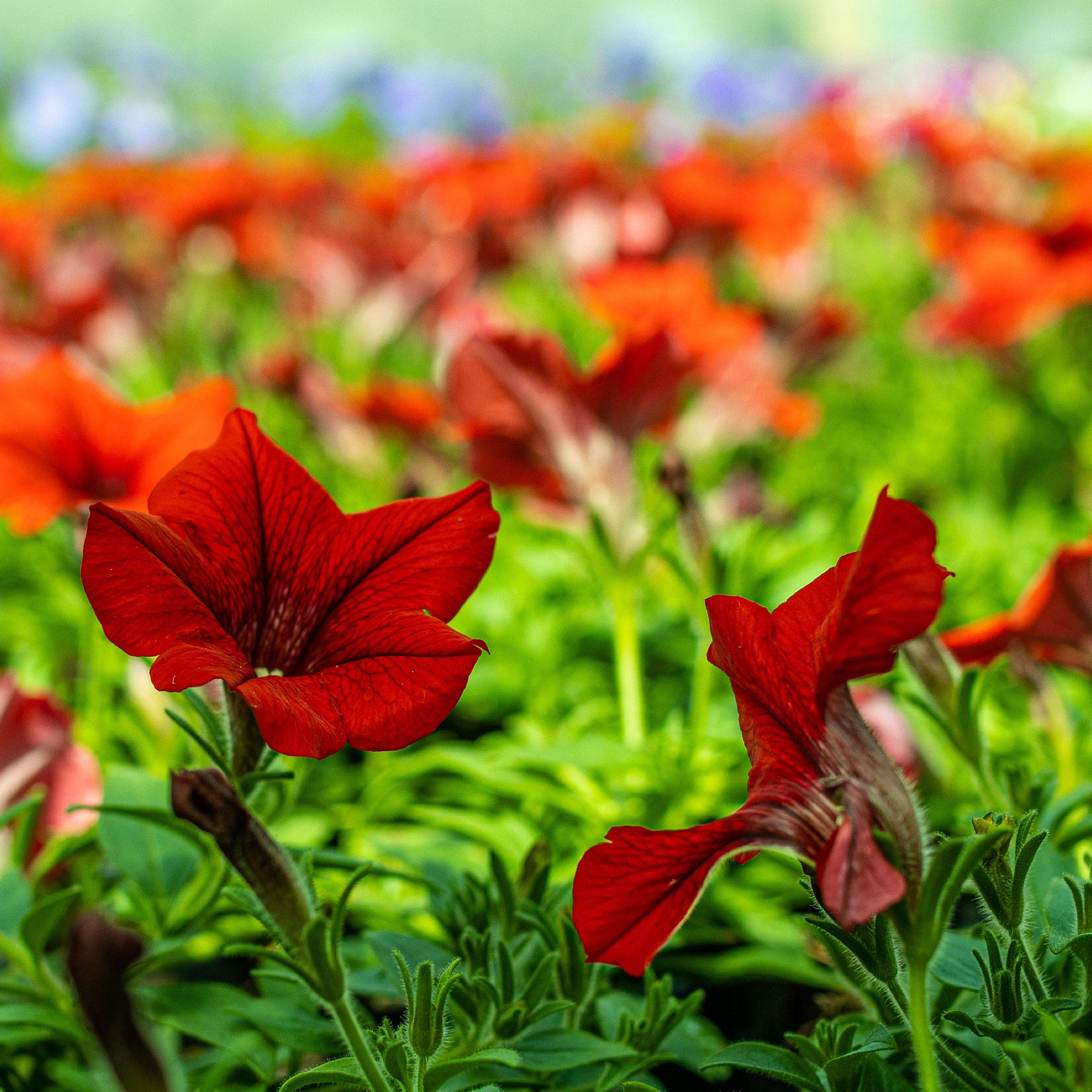 Amaryllis provenant des Fleurs des Cévennes dans le Gard