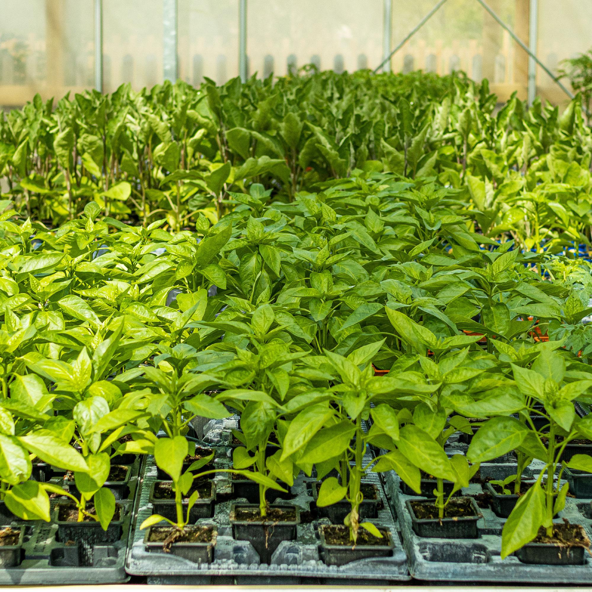 Plantes 100% des Cévennes dans le Gard
